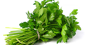 Cilantro or Corriander
